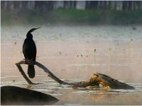 Anhinga in the morning